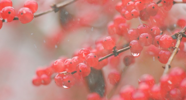 red-berries1_v2_0066_crop