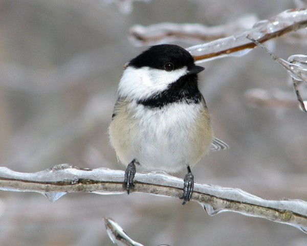 black-capped-chickadee-1356464-639x511