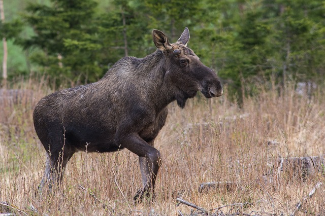 Moose Brown Species Alces Animal Wildlife Mammal